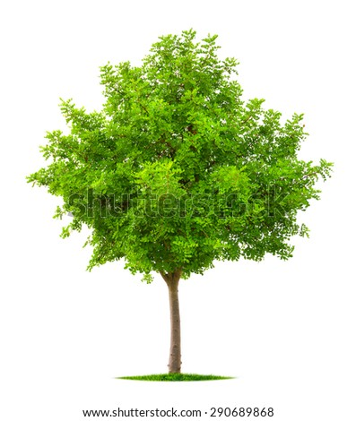 Nice tree with lush fresh vibrant green foliage isolated on pure white background - stock photo