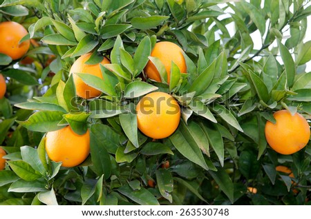 Nice tree with many juicy fresh oranges,