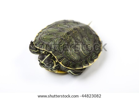 Nice Turtle isolated on white