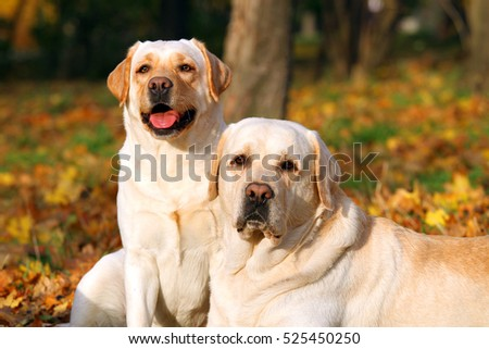 nice two cute yellow labradors in the park in autumn close up