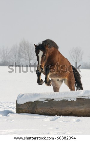 Nice welsh pony jumping - stock photo