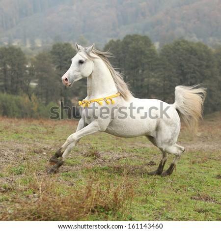 Nice white arabian stallion with flying mane running on pasturage - stock photo