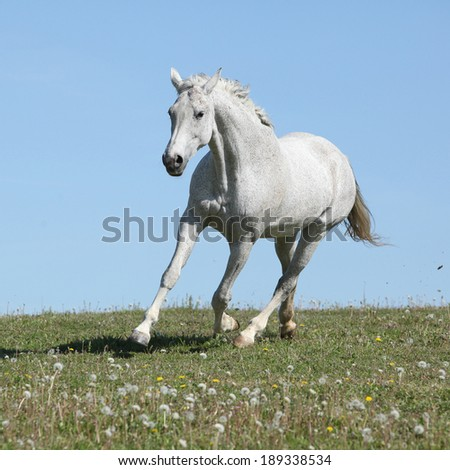 Nice white horse looking at u while it is running on spring pasturage - stock photo