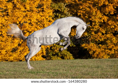 Nice white horse running on meadow - stock photo