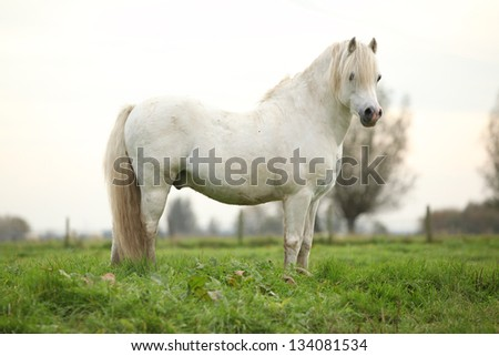 Nice white welsh pony standing on green grass - stock photo