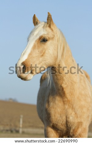 Nice yellow horse looking