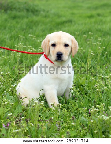 nice yellow labrador puppy in green grass in spring