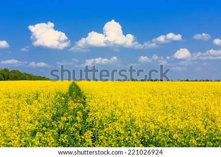 Nice yellow rape field in sunny day - stock photo