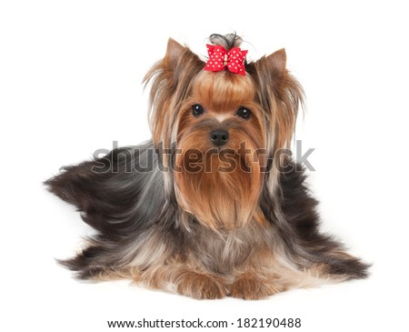 Nice Yorkshire Terrier isolated on the white background