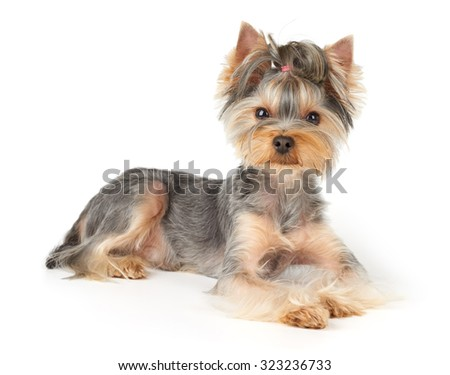 Nice Yorkshire Terrier with short hair lies on white background