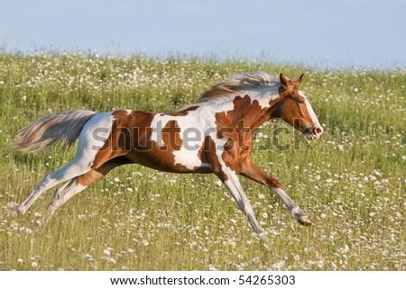 Nice young appaloosa horse running - stock photo