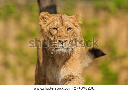 nice young lioness - stock photo