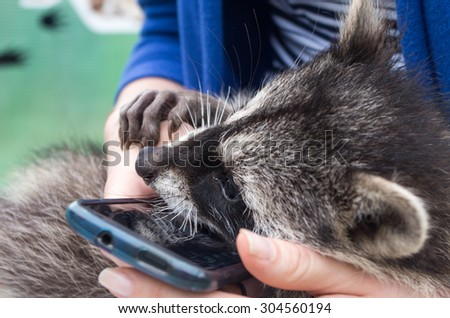 Nice young raccoon (Procyon lotor) in human hands playing with smartphone - stock photo