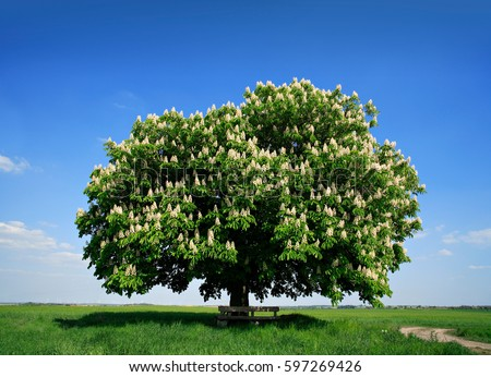 Nicely Shaped Chestnut Tree Full Bloom Stock Photo 597269426