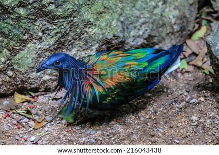Nicobar pigeon - stock photo