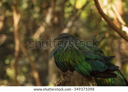 Nicobar Pigeon, Caloenas nicobarica, bird found in Nicobar to Luzon, and New Guinea