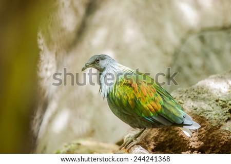 Nicobar Pigeon(Caloenas nicobarica),bird in evergreen forests - stock photo