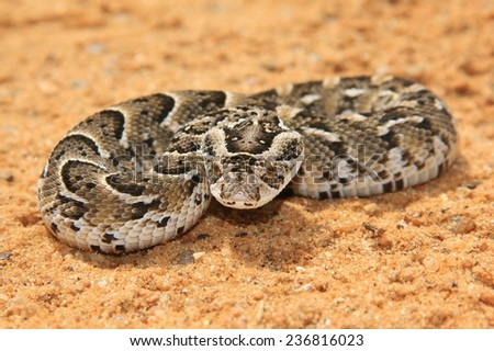Night Adder - African Snake Background - Deadly Beauty
