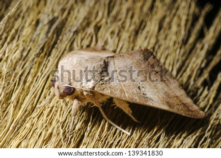 night butterfly on broom - stock photo