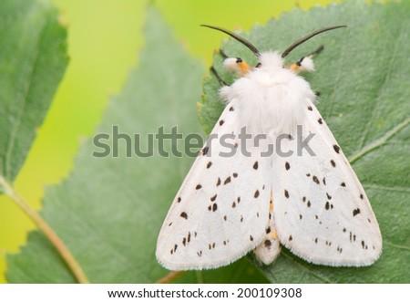 night butterfly - Spilosoma lubricipeda - stock photo