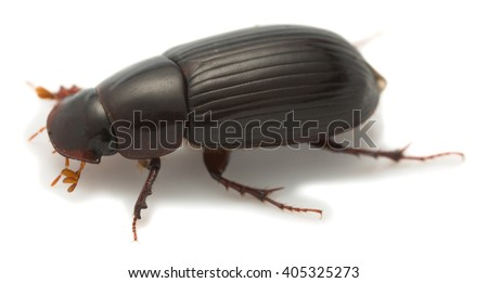 Night-flying dung beetle, Aphodius rufipes isolated on white background