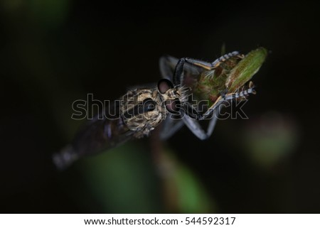 night macro shot of a robber fly