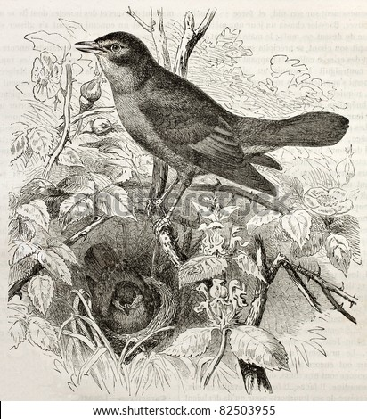 Nightingale old illustration (Luscinia megarhynchos). Created by Kretschmer and Illner, published on Merveilles de la Nature, Bailliere et fils, Paris, 1878 - stock photo