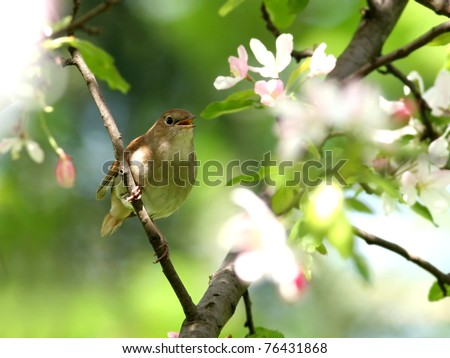 Nightingale perched among white blossoming tree - stock photo