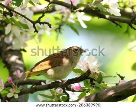 Nightingale perched in flowering tree - stock photo