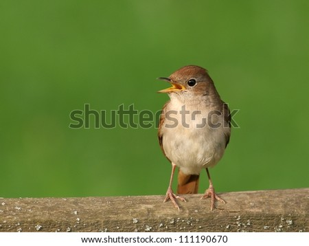 Nightingale perched on wooden bar, singing - stock photo