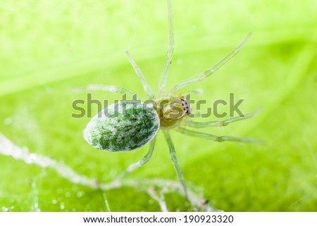 Nigma walckenaeri; a green cribellate spider up to five millimetres long, the largest of the family Dictynidae - stock photo