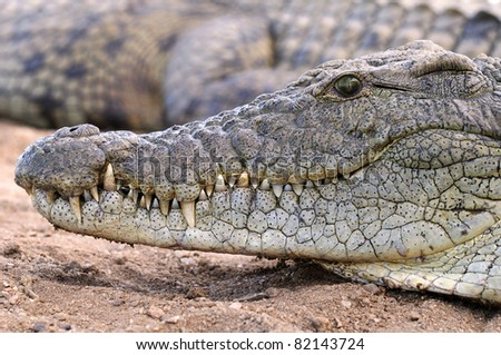 Nile Crocodile - stock photo