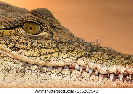 Nile crocodile (Crocodylus niloticus) profile closeup with teeth showing