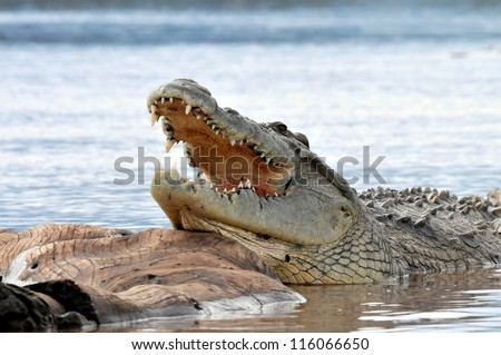Nile crocodile having opened mouth from a heat to graze, resting on a big log in the middle of a lake. - stock photo