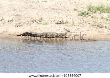 Nile crocodile in a river in South Africa.
