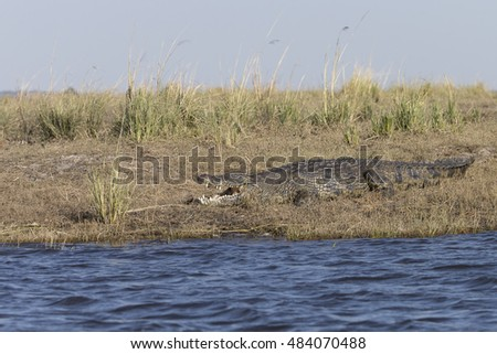 Nile Crocodile on Chobe River, Botswana Africa