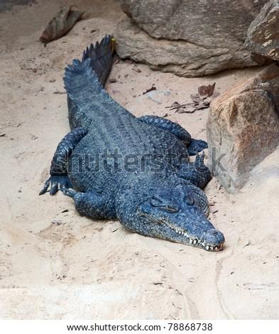 Nile crocodile resting on the beach - stock photo