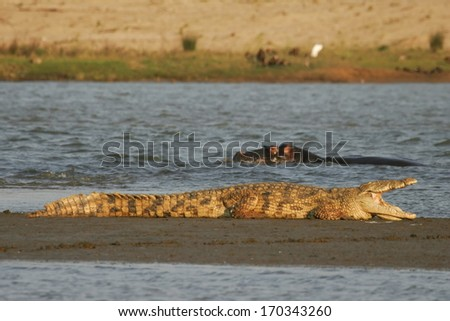 Nile Crocodile, South Africa - stock photo