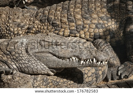 Nile crocodiles (Crocodylus niloticus) sharing basking spot , closeup