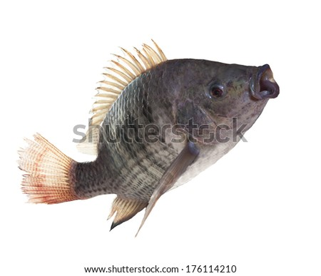 nile fish jumping isolated white background use for nature animals and marine life