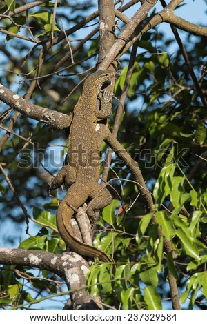 Nile Monitor Lizard (Varanus niloticus) climbing a tree - stock photo