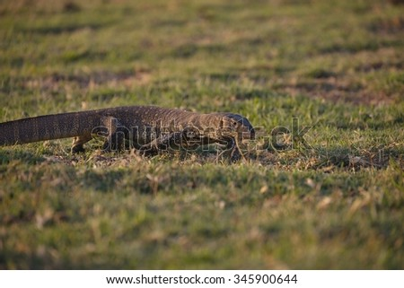 Nile monitor lizard Varanus niloticus,in Chobe National Park, Botswana - stock photo