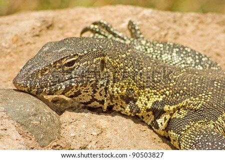 Nile Monitor (Varanus niloticus) - stock photo