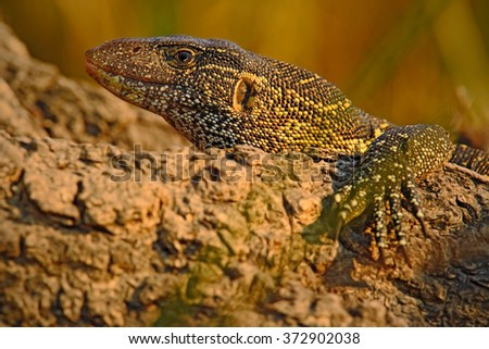 Nile Monitor, Varanus niloticus, detail head portrait of reptile, nature habitat, Chobe National Park, Botswana, Africa - stock photo
