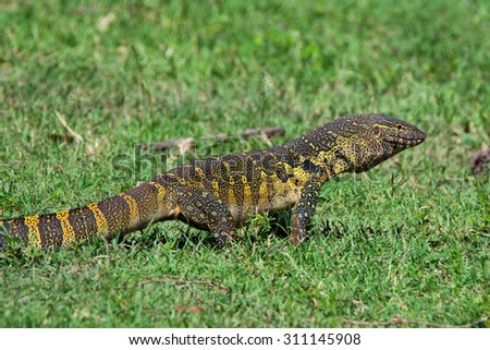 Nile monitor ( Varanus niloticus ) is crawling in African savannah - stock photo