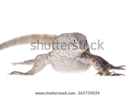 Nile monitor, Varanus niloticus, isolated on white background