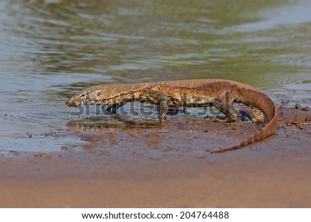 Nile monitor (Varanus niloticus) walking in shallow water, South Africa - stock photo