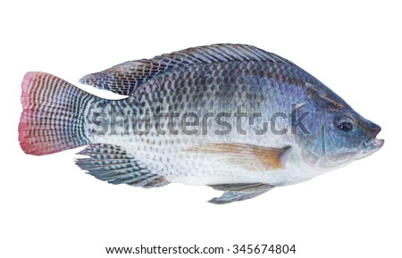 Tilapia stock images royalty free images vectors for What kind of fish is tilapia