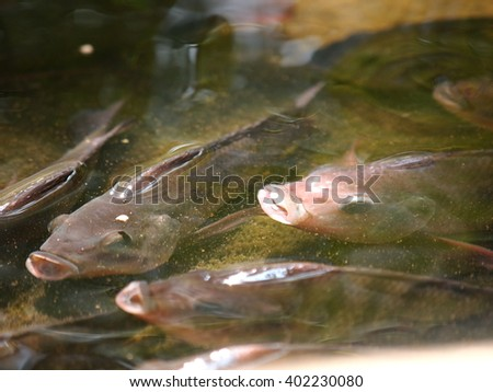 Nile tilapia, Mango fish, Nilotica, Oreochromis niloticus, young fish in gray swimming in clear water under sunlight close up in a pond