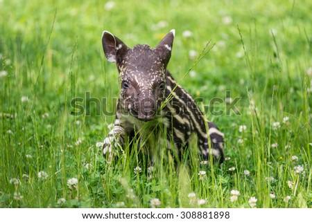 Nine days old baby of the endangered South American tapir (Tapirus terrestris), also called Brazilian tapir or lowland tapir - stock photo
